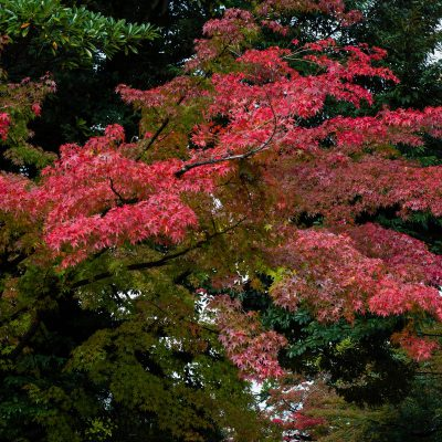 L'un des trois plus beaux jardins du Japon, le Kenroku-en. En automne, les feuilles virent au rouge et à l'or. Depuis les temps anciens, les Japonais ont admiré la beauté des feuilles d'automne. A Kanazawa, les feuilles d'automne prennent leurs couleurs fin Octobre, commençant dans les hauteurs et progressant doucement jusqu'aux plaines.