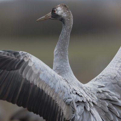 Grue cendrée (Grus grus) - Common Crane