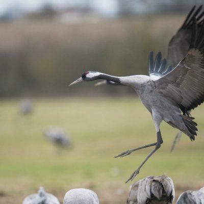 Grues cendrées (Grus grus) - Common Crane