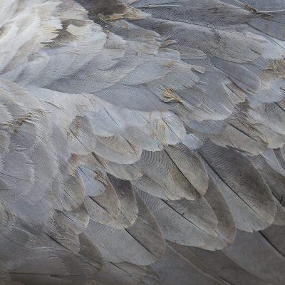 Détail du plumage d'une grue cendrée