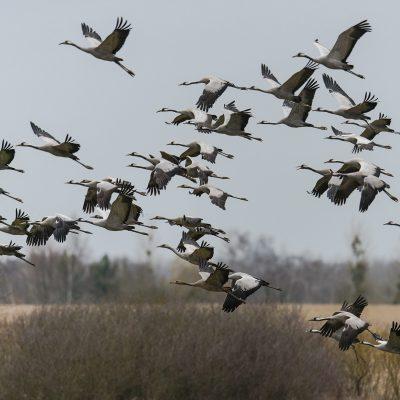Grues cendrées en vol (Grus grus) - Common Crane