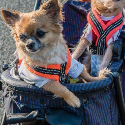 Les chiens divas des villes japonaises.