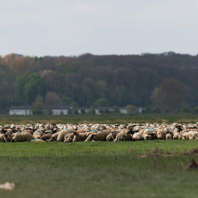 Le cheptel ovin en Baie de Somme