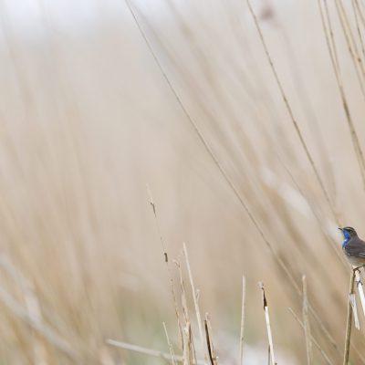 Gorgebleue à miroir (Luscinia svecica)