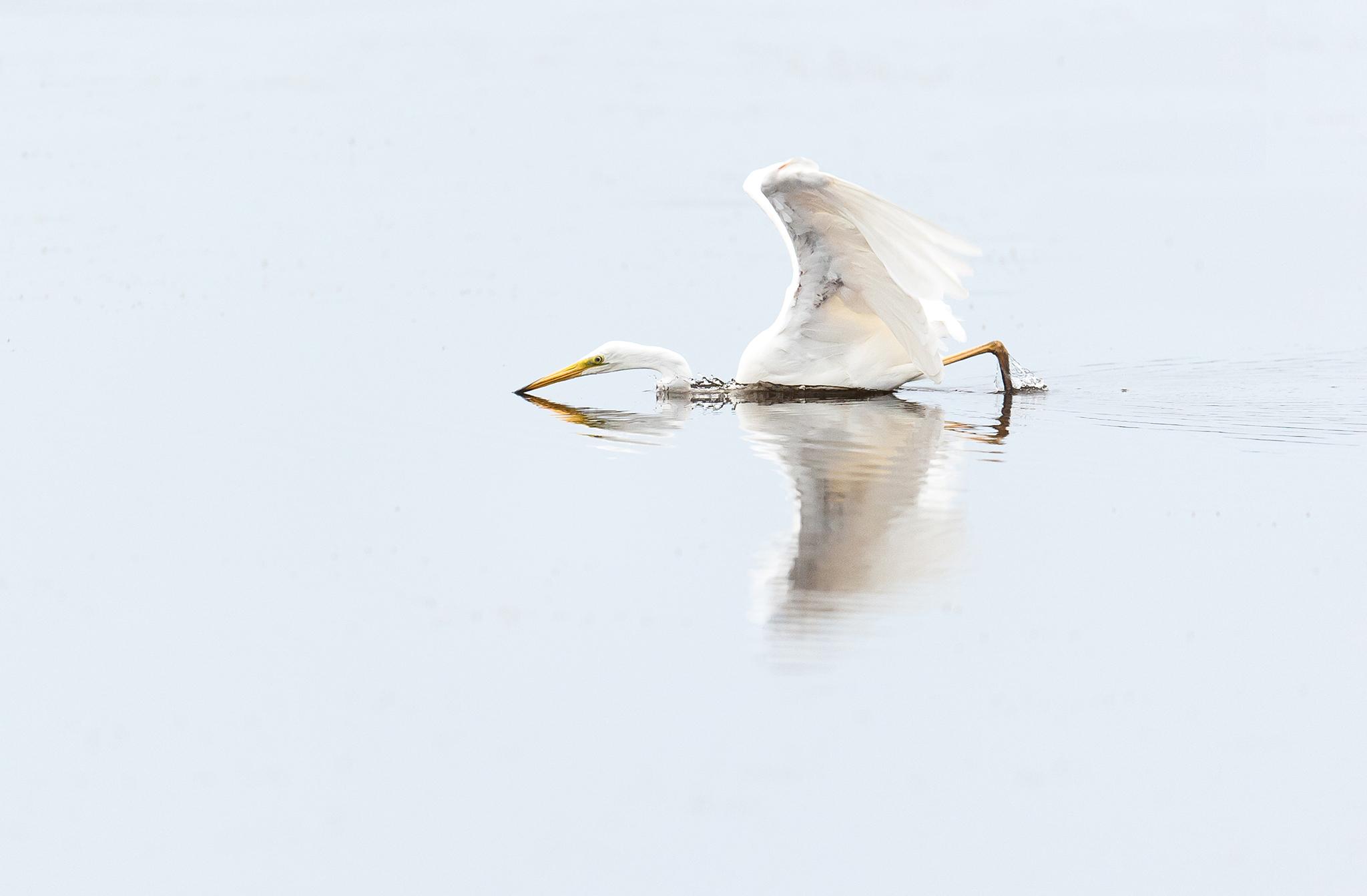 La Grande Aigrette (Ardea alba) est une espèce d'oiseaux échassiers de la famille des Ardeidae.  Marais du Crotoy - Baie de Somme - Picardie - France