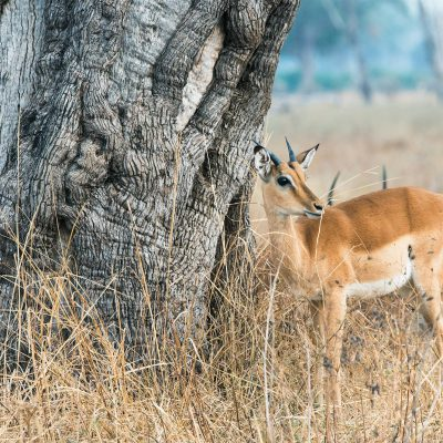 L'impala (Aepyceros melampus)
