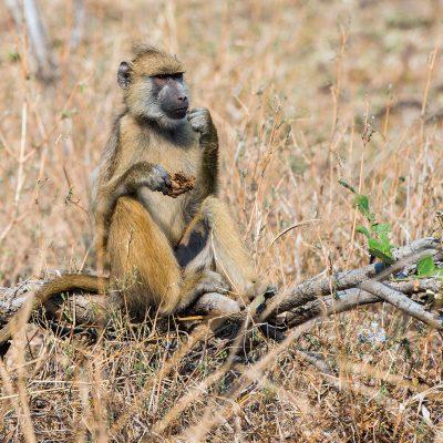 Le babouin cynocéphale est également appelé babouin jaune ou babouin chacma. (Papio hamadryas cynocephalus).
