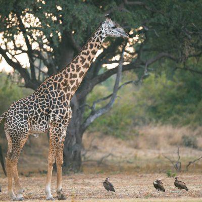 Girafe de Thornicroft (Giraffa camelopardalis)