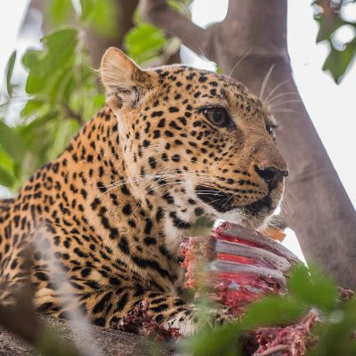 Il paraît qu'il est rare de voir des léopards surtout le jour, lors de notre séjour la chance était avec nous, le léopard, c'est montré à six reprises.