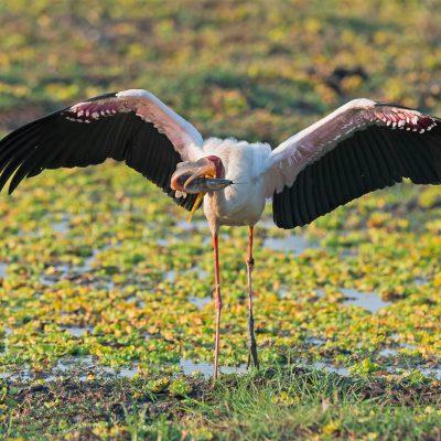 Cigogne à bec jaune (Mycteria ibis) la plus