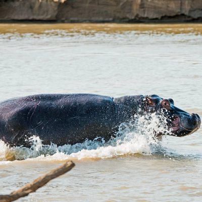 Hippopotame (Hippopotamus amphibius)