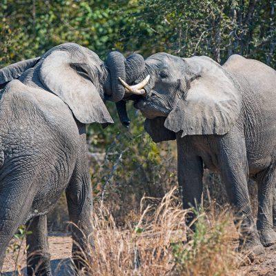 Éléphants d'Afrique (Loxodonta africana)