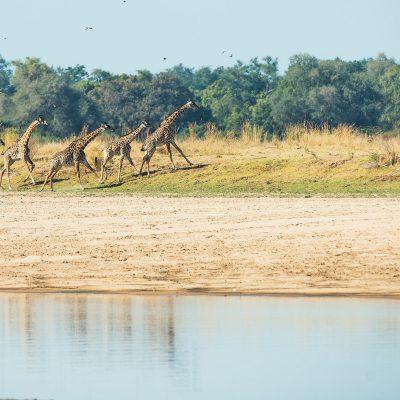 Girafes de Thornicroft (Giraffa camelopardalis).  En vitesse de croisière, la girafe court à 15 km/h mais peut accélérer à 56 km/h en prenant un curieux galop. Les pattes avant se lèvent ensemble mais largement écartées pour éviter que ses sabots s'entrechoquent. Son galop particulier est facilité par son long cou qui balance et crée l'équilibre, grâce à un petit muscle spécial qui le tire en avant.