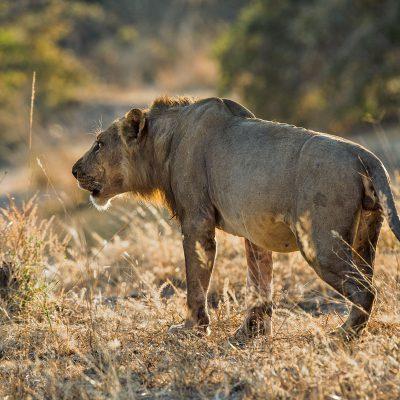 Ce jeune lion, d'un puissant rugissement qui peut s'entendre à des kilomètres, appelle ses congénères.