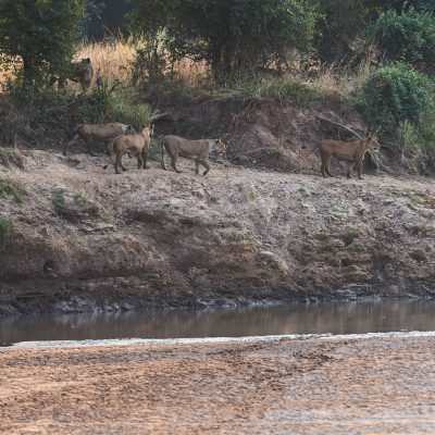 En face de notre bivouac cinq lionnes longent la berge de la rivière Luangwa.