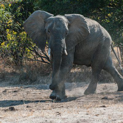 Éléphans d'Afrique (Loxodonta africana)