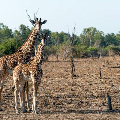 Girafes de Thornicroft (Giraffa camelopardalis)