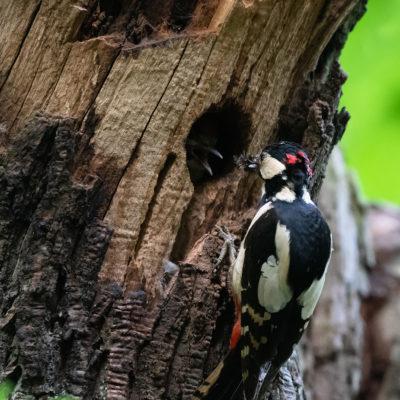 Piaillements incessants des jeunes pics-épeiches : les parents font de nombreuses allées et venues, le bec rempli d'insectes et de larves qui ne les rassasient pas !