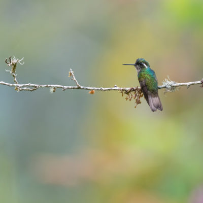 Colibri à ventre châtain (Lampornis castaneoventris)