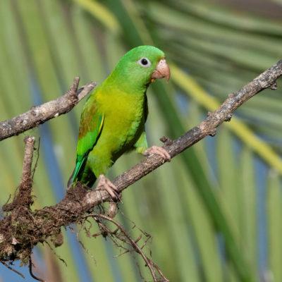 Toui à menton d'or (Brotogeris jugularis) est un oiseau qui appartient à la famille des Psittacidés.