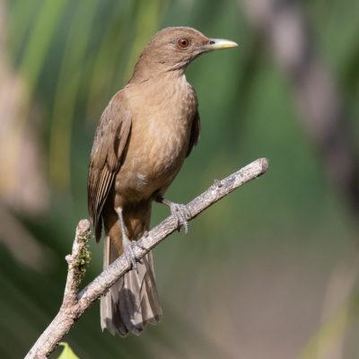 """Le Merle Fauve (en Anglais Claye-colored Robin) est une espèce de passereaux. C'est l'oiseau national du Costa Rica, où il est appelé """"Yigüirro""""."""