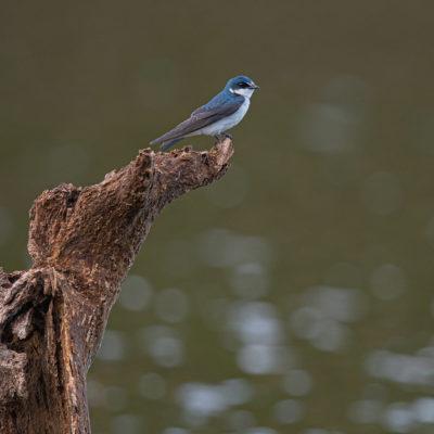 L'Hirondelle bleu et blanc (Notiochelidon cyanoleuca) est une espèce d'oiseaux, des hirondelles, d'Amérique du Sud. Taxonomie[modifier | modifier le code]. Cette espèce était autrefois placée dans le genre Pygochelidon Baird, 1865, dont elle était la seule espèce.