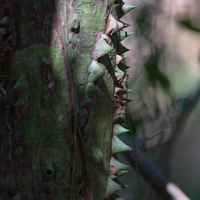 Écorce de l'arbre épineux Pochote