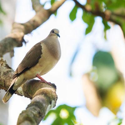 Colombe de Verreaux (Leptotila verreauxi) est un oiseau qui appartient à la famille des Columbidés.