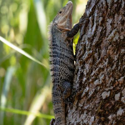 cténosaure noir ou iguane à queue épineuse noire
