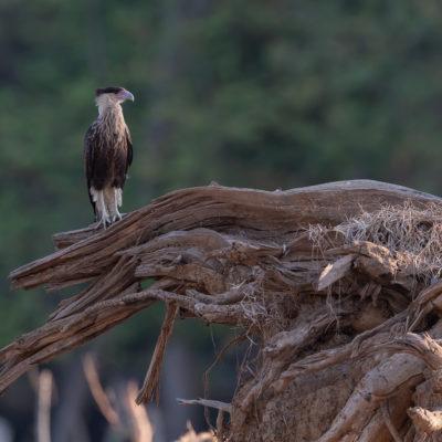 """Les Falconidés sont une famille de rapaces diurnes de taille petite à moyenne, comportant les caracaras et les faucons. Falco vient du latin """"falx"""" qui désigne la faux. Il fait référence aux ailes falciformes des faucons, longues, étroites et pointues. Les Falconiformes ont été séparés systématiquement des autres rapaces diurnes, les Accipitriformes, près desquels ils étaient classés auparavant. A présent, ils voisinent avec les Psittaciformes (perroquets au sens large) avec lesquels ils ont en commun le bec crochu. On les trouve dans tous les habitats, mais ce sont en moyenne plutôt des prédateurs agiles de milieux ouverts où ils capturent leurs proies grâce à un ongle postérieur développé. Certains d'entre eux sont utilisés pour la chasse au vol, activité qui porte le nom de fauconnerie."""
