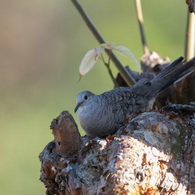 Colombe inca (Columbina inca) est un oiseau qui appartient à la famille des Columbidés.