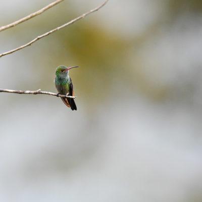 Ariane à ventre gris (Amazilia tzacatl)