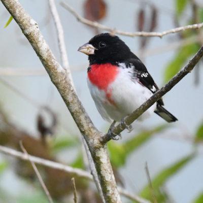 Cardinal à poitrine rosePheucticus ludovicianus