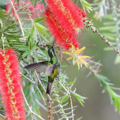 Colibri à ventre châtain - Lampornis castaneoventris