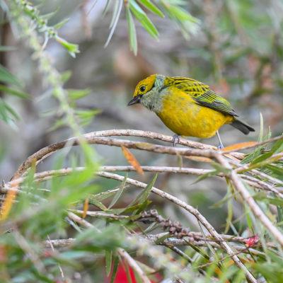 Calliste safran (Tangara icteroCalliste safran (Tangara icterocephala) est un oiseau qui appartient à la famille des Thraupidés.