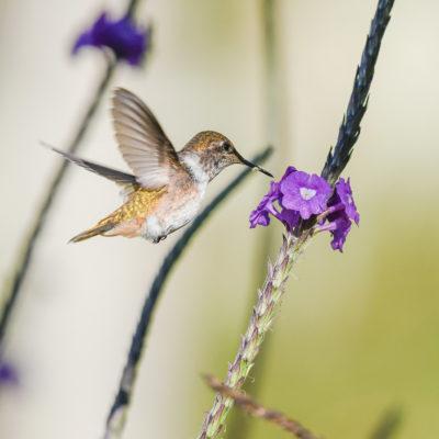 Colibri Scintillant femelle en vol