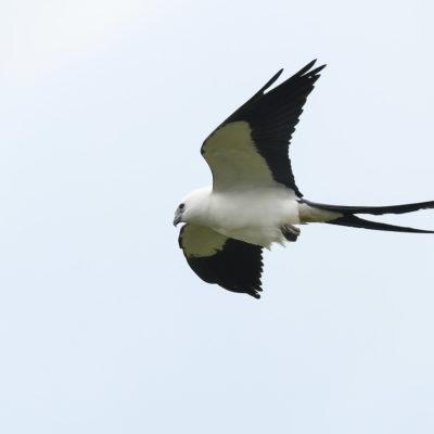 Milan à queue fourchue (Elanoides forficatus) est un oiseau qui appartient à la famille des Accipitridés et à l'ordre des Accipitriformes.