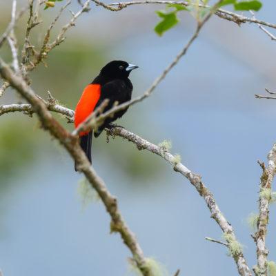 Tangara de Cherrie (Ramphocelus passerinii costaricensis) est un oiseau qui appartient à la famille des Thraupidés.