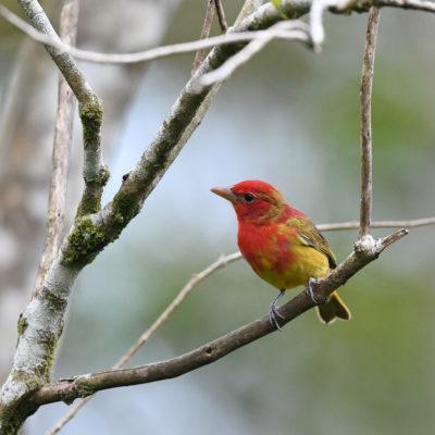 Tangara vermillon (Piranga rubra) est un oiseau qui appartient à la famille des Cardinalidés.
