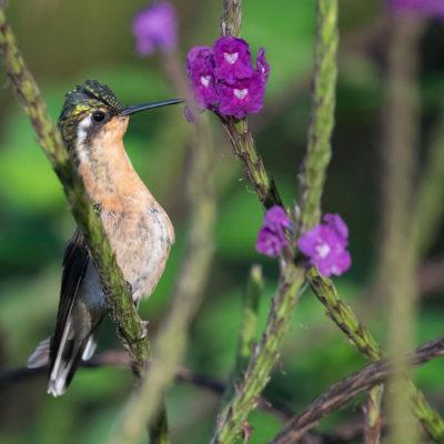 Colibri à gorge pourprée - Lampornis calolaemus