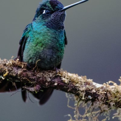 Colibri insigne - Panterpe insignis