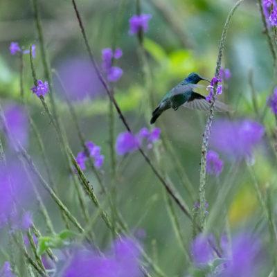Colibri cyanote Colibri cyanotus