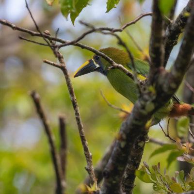 Toucanet émeraude Aulacorhynchus prasinus - Emerald Toucanet. Le toucanet émeraude ou à gorge bleue - Aulacorhynchus prasinus