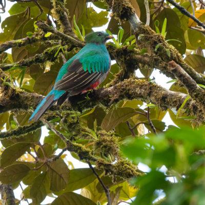 Quetzal resplendissant