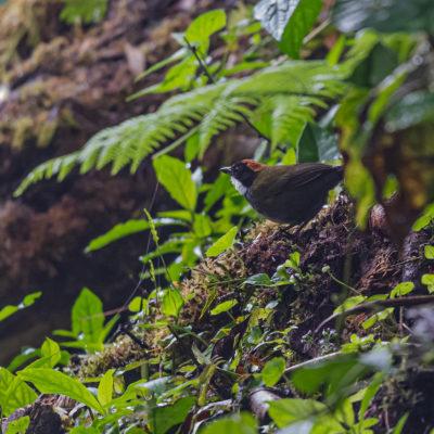 Tohi à nuque brune (Arremon brunneinucha) est un oiseau qui appartient à la famille des Passerellidés.