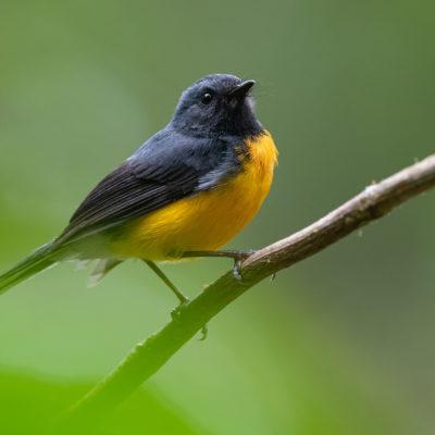 Paruline ardoisée (Myioborus miniatus) est un oiseau qui appartient à la famille des Parulidés.