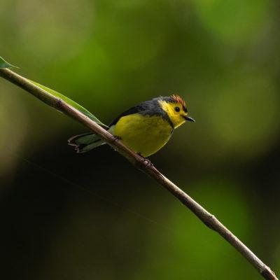 Paruline ceinturée (Myioborus torquatus)