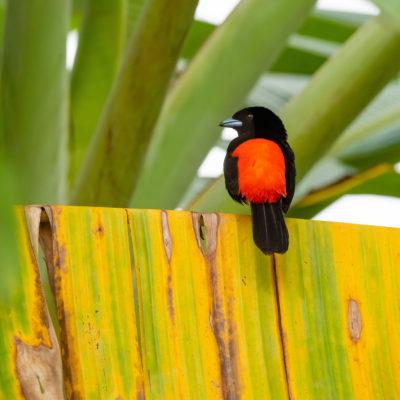 Tangara de Cherrie (Ramphocelus passerinii costaricensis)