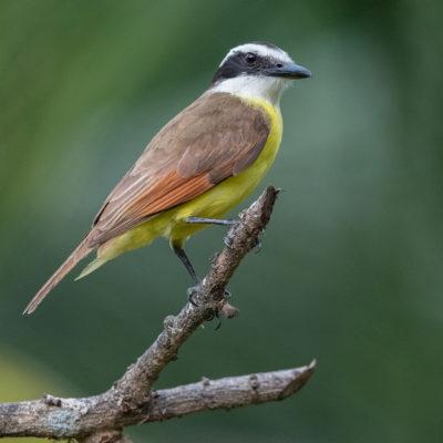 Tyran sociable (Myiozetetes similis) est un oiseau qui appartient à la famille des Tyrannidés.