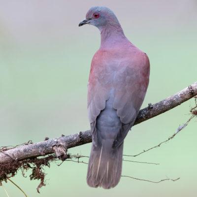 Pigeon à bec noir - Patagioenas nigrirostris